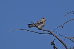 Black shouldered Kite ( its a long wait between meals )