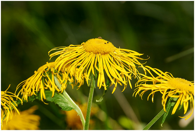 Rothchild's Sunflower.