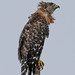 Hawk after Heavy rain by Heather Killoran Rees