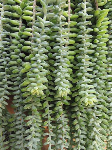 Burro tails succulent (Sedum Morganianum) in Puerto Vallarta Botanical Garden, Mexico