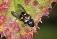 Sap Beetle - Glischrochilus hortensis