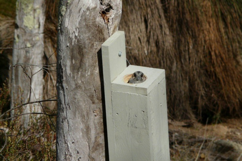 Owlet Nightjar in TP box May
