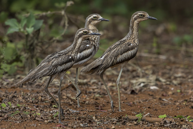 Bush Stone-curlews, Malanda Qld, Canon EOS 7D MARK II, Canon EF 500mm f/4L IS II USM