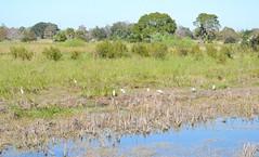 Cattle Egrets perhaps 0232