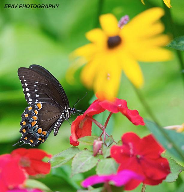 A spice bush swallowtail butterfly on flowers!