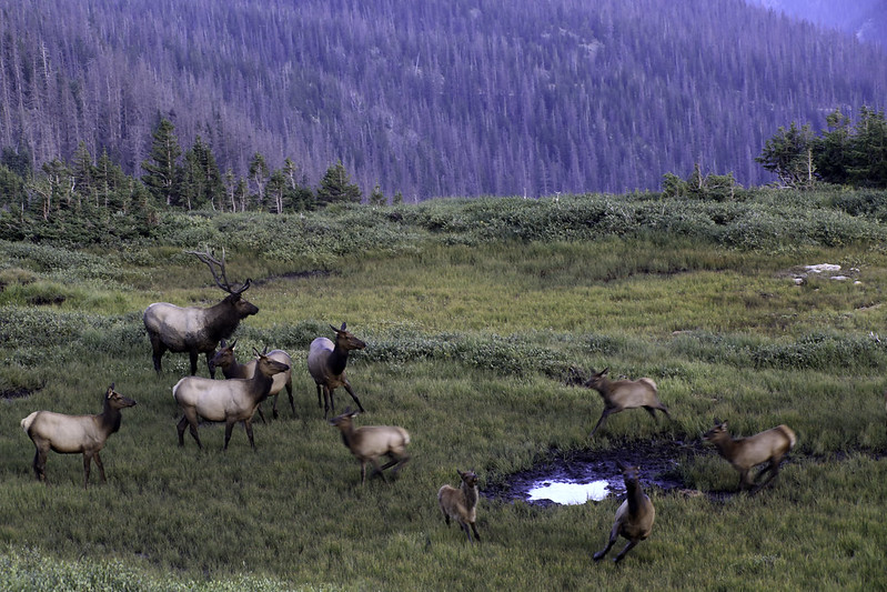 2017 8 27 - Elk in the Tundra - 9S3A6651