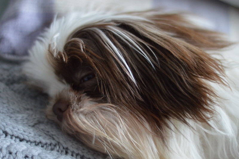 This is a photo of my sleepy shih tzu lying down