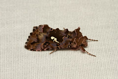 Autographa corusca Caramel Looper Moth) - Hodges # 8918