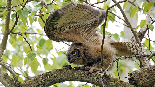 Great Horned Owlet Stretch, Sony ILCA-99M2, Sony 500mm F4 G SSM (SAL500F40G)