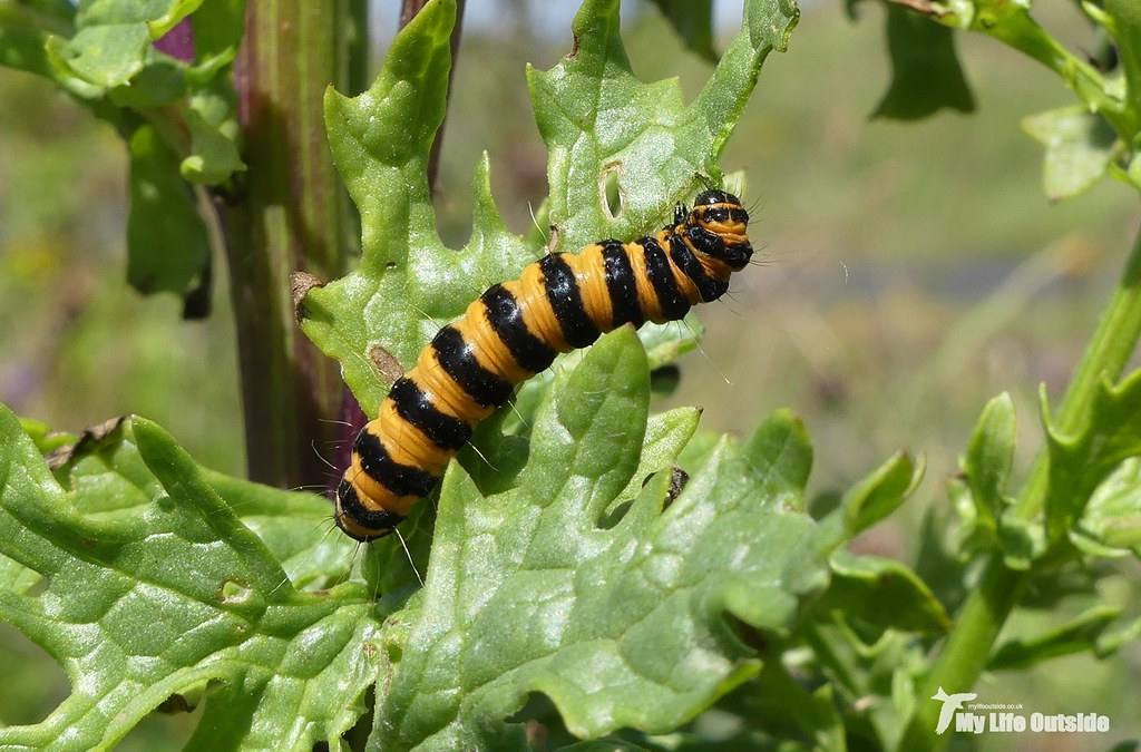 P1100785 - Cinnabar Moth Caterpillar, Angle Peninsula