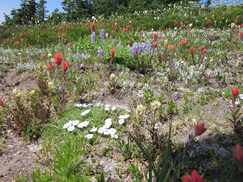 An abundance of wildflowers on the High Pass Trail