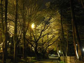 千葉公園 野球場の夜桜01