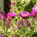 2017 Germany // Unser Garten - Our garden // im September // Aster by maerzbecher-Deutschland zu Fuss