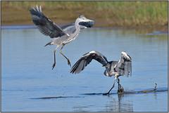 Grey Heron (image 1 of 3)