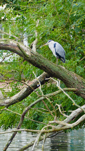 King of the castle (Heron, West Park)