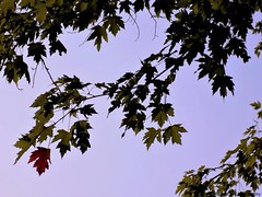 One Red Maple Leaf