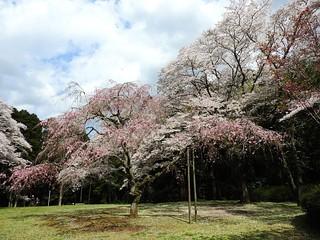 泉自然公園 15 枝垂れ桜