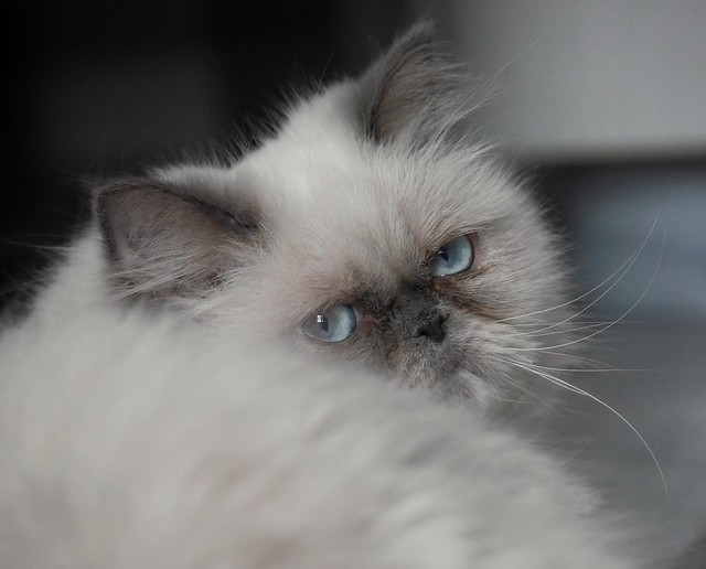 Himalayan / Colorpoint Persian Cat Pictures and ...