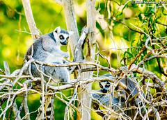 LemurStare