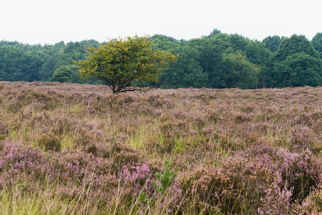 Tree in Heathlands