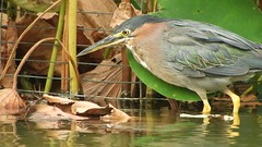 092017greenheron