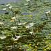 Flor de agua Nymphaea ampla por im.estudio