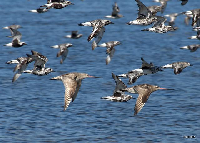 2 Bar-tailed Godwits in flight (2), Nikon D4, AF-S VR Nikkor 300mm f/2.8G IF-ED II