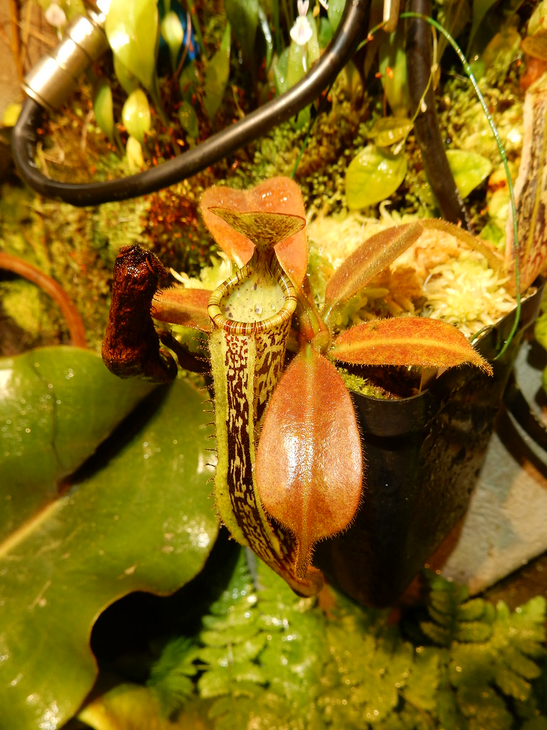 Nepenthes vogelii x platychila