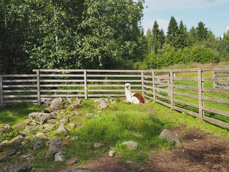 alpakka-kuopion-kotieläinpuisto