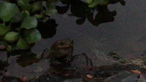 Cane Toads calling