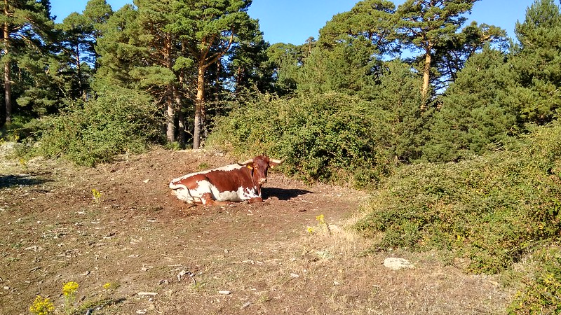 Vacas disfrutando de la pradera, junto a la Cueva del Monje 2