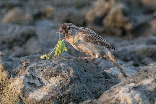 House Sparrow eats stick insect
