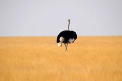 Ostrich (Struthio camelus), Etosha NP, Namibia