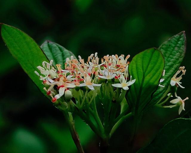J20170810-0019—Cornus sericea ssp  sericea—RPBG—DxO