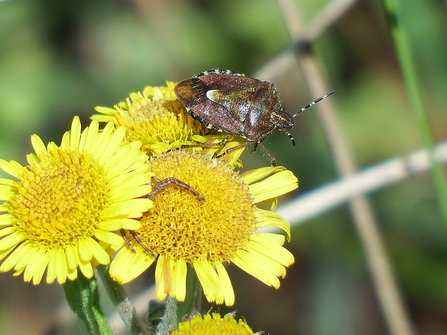 Hairy Shieldbug Dolycoris baccarum, Fujifilm FinePix S1