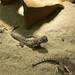 Round-headed lizards