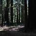 Light Through the Redwoods 3