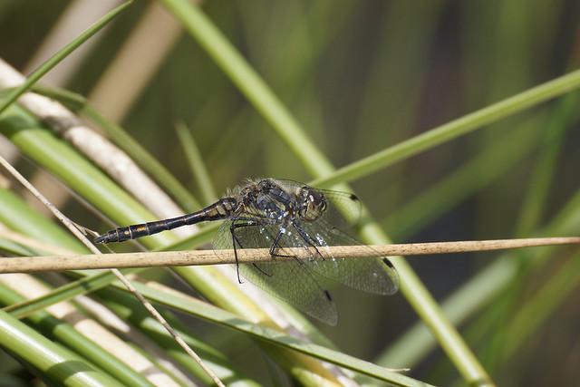 Black Darter (Sympetrum danae), Sony SLT-A77V, Tamron SP 70-300mm F4-5.6 Di USD