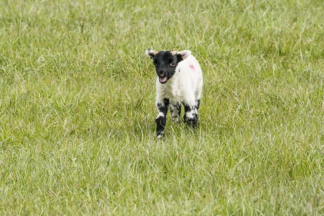 Lamb_1, Nikon D7100, AF-S Nikkor 200-500mm f/5.6E ED VR