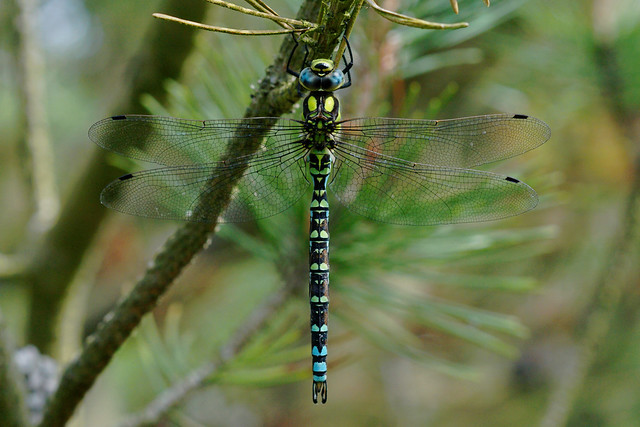 Southern hawker, Sony ILCA-77M2, Tamron SP AF 90mm F2.8 Di Macro