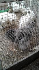 Chickens at Upland Nursery