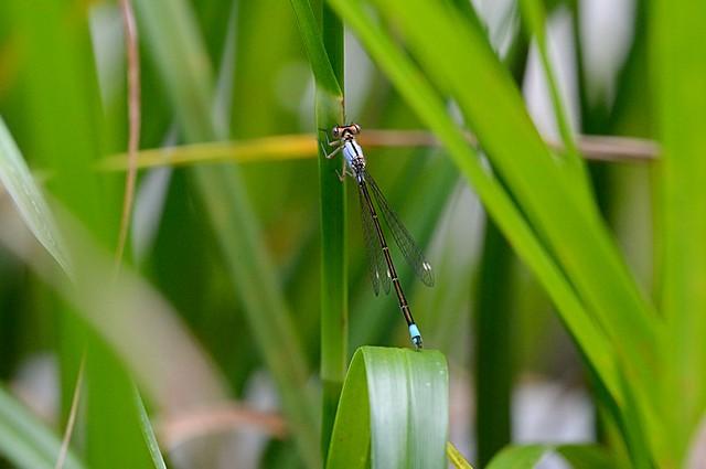 Ischnura cervula (Pacific Forktail) immature female