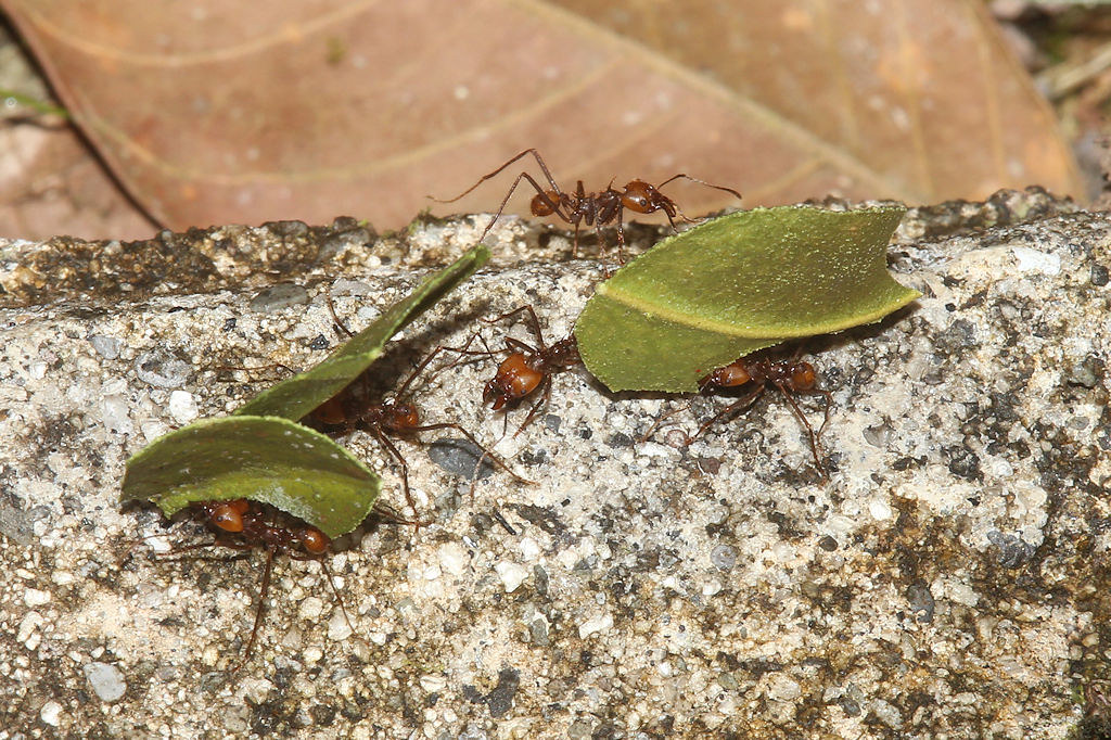Leafcutter Ants - Panama, Panama - June 18, 2017