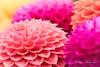 Brightly coloured Dahlias. - RHS Wisley Gardens by Lauren Taliana