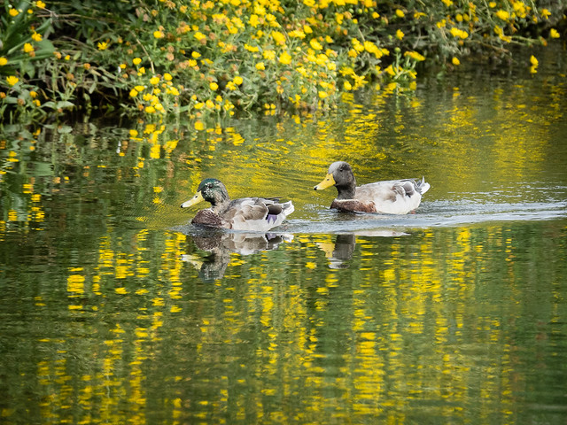 ducks and reflections of flowers