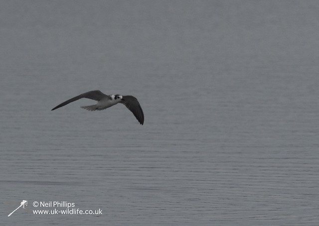Black winged tern-6