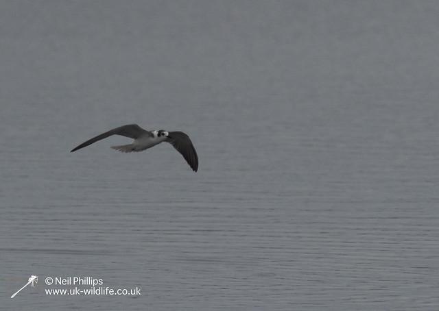 Black winged tern-6