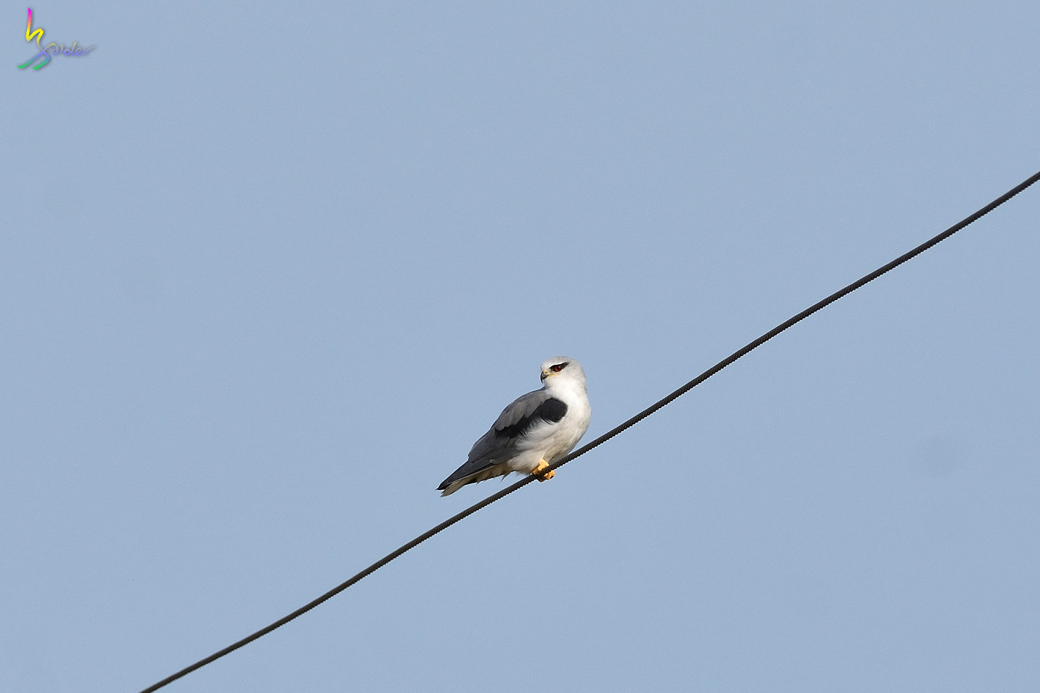 Black-winged_Kite_6133