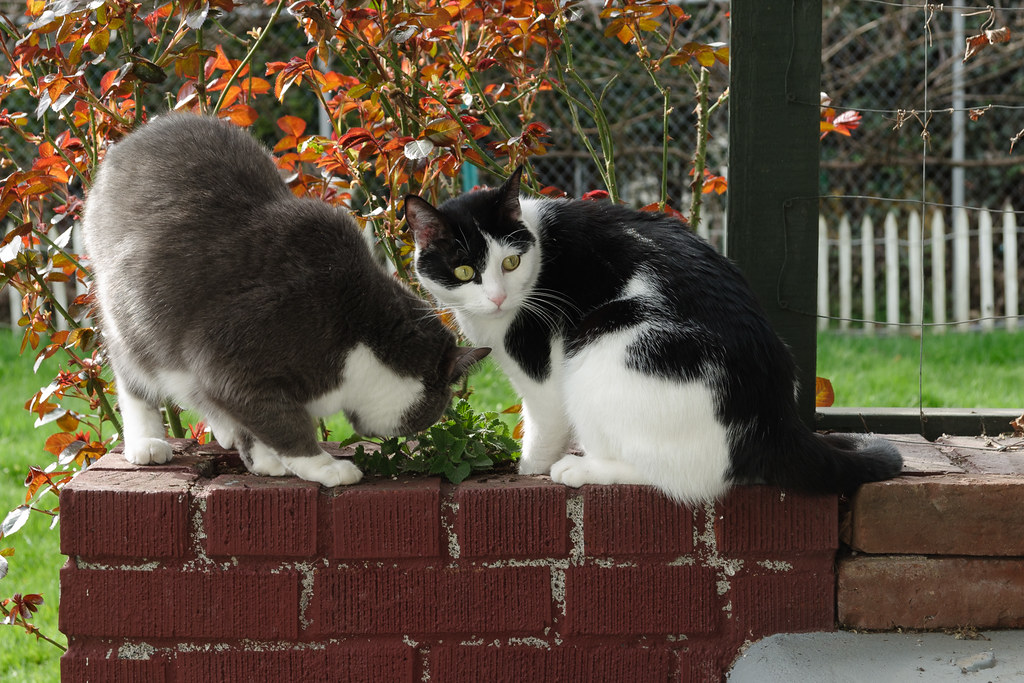 Our cats Templeton and Scout play in the catnip plants on our back deck