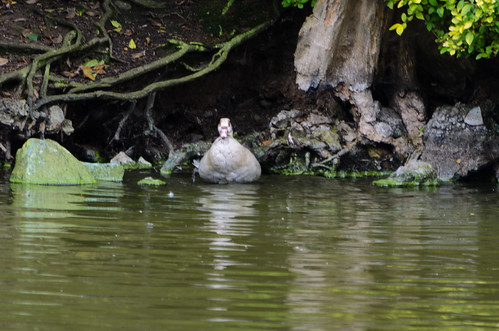 Egyptian goose, island shore, West Park